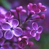 green_dreams: (lilac 25th may)