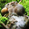 green_dreams: (small cautious mouse)