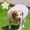 bossymarmalade: the fattest sweetest doggie in the entire world (STAR)