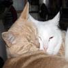 red_trillium: an orange & white cat cuddlying while sleeping (Ah Le Gai & Zephyr Cuddle)