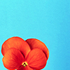 ladyvyola: an orange pansy against a bright blue background (radiant, radiant pansy)