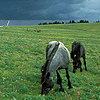 sasha_feather: horses grazing on a hill with thunderheads (horses and lightning)