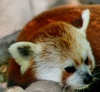 firecat: red panda resting on tree branch (red panda nap)