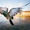 merryghoul: pigeon near the london eye (london pigeon)