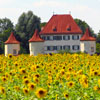 barefootsong: Schloss Blutenburg and a field of sunflowers (sunflower castle)