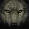 amaniwolf: (Wolf)