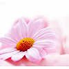 ext_8930: Pink gerbera daisy (Gen - Patience)