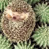 rokeon: hedgehog on cacti (Prickly)