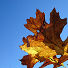 pinepigs_garden: a few dried autumn maple-like leaves (autumn leaves)