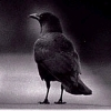 darchildre: moody black-and-white crow looking thoughtful (crow is thoughtful)