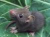 pitry: (rat)