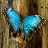 pinepigs_garden: a metalic blue butterfly against a wood background (Blue Morpho butterfly)