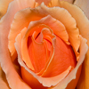 pinepigs_garden: close up of orange rose (Just Joey)