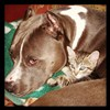 alee_grrl: pitbull and kitten cuddle on couch (pitbull and kitten)