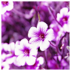 ilex_aquifolium: (Default)