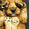 trascendenza: puppy with paws over eyes. (-cute squinchy puppy.)