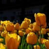 solitary_summer: (tulpen)