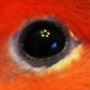 pseudogeek: The eye of a peach-faced lovebird, with a flower-like light reflection. (birdeye)