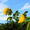 tablesaw: Two yellow roses against a bright blue sky. (Family Roses)