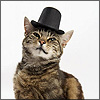 distractionary: tabby cat in bowler hat (these paws are made for walking)