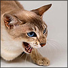 distractionary: angry hissing sealpoint cat with blue eyes. (DO NOT WANT.)