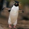 pinguinochica: Rockhopper Penguin (pic#3639536)