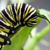 gardenparty: (The Caterpillar)