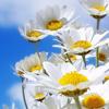 gardenparty: (Daisies)
