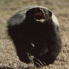 mellivora: An open-mouthed badger running toward the camera (angrybadger)
