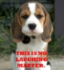 "deepspaceartist: A serious faced Beagle, with the text ""this is no laughing matter."" ((not) serious business)"