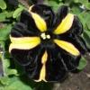 wraavr: (black petunia)