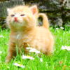 rising: orange kitten (the cadre: orange kitten)