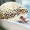 rising: hedgehog (the cadre: hedgehog)