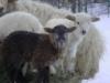 opakele: (Dragon's Lair Farm - Sheeps)