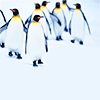 withorwithoutyou: (penguins// to walk on tiptoes everyday)