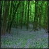owl: bluebell wood (spring)