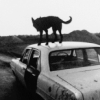 excursor: A lean dog perched on a car, with a mountain range far away. (car, dog, black and white) (Default)