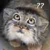 bliumchik: baffled cat is baffled (OMGWTF)