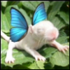 feycat: Baby russian cinnamon rat with photoshopped butterfly wings (pic#3692613)