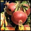the_wanlorn: pomegranates (Pomegranates)
