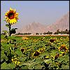 linaewen: (Sunflower by satismagic [original pictur)