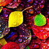the_coffee_shop: Brightly multicolored autumn leaves covered in water droplets. (mai)