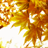 the_coffee_shop: Yellowish gold autumn leaves shining in the sun. (thierry)