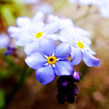 luce_felice: (Forget-Me-Nots)