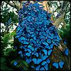 auguris: Dozens of blue butterflies resting on a tree. (ΦΙΛΗΜΩΝ)