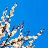 ext_2673: Tree with flowers and blue sky (Default)