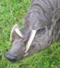 cat63: (babirusa)