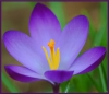 annotated_em: close shot of a purple crocus (Default)