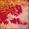 annotated_em: a branch of a Japanese maple, with bright red leaves (Default)