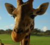 giraffesanctuary: a close up of a giraffe face. Blue sky and green hill is visible behind. (Default)